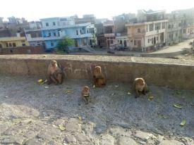 Monkey Temple, Jaipur.